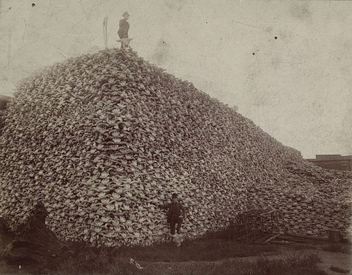 Bison skull pile