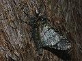 Biston strataria ♀ - Oak beauty (female) - Пяденица-шелкопряд тополёвая (самка) (40213252864).jpg