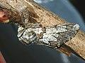 Biston strataria ♂ - Oak beauty (male) - Пяденица-шелкопряд тополёвая (самец) (40213253034).jpg
