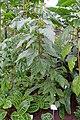 Bixa orellana - Botanischer Garten - Heidelberg, Germany - DSC01081.jpg