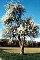 Blühender Baum im Frühling - panoramio.jpg