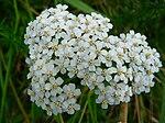 Blüte der Schafgarbe.JPG