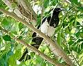 Black-billed Magpie (42907977601).jpg