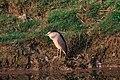 Black-crowned night heron at Chitwan National Park.jpg