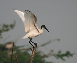 Black-headed Ibis (Threskiornis melanocephalus) in Uppalpadu, AP W IMG 3327.jpg