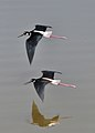 Black-necked Stilts in flight.jpg