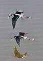Black-necked Stilts in flight.jpg