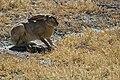 Black-tailed jack rabbit (14711295422).jpg