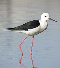 Black-winged Stilt Himantopus himantopus by Dr. Raju Kasambe DSCN7420 (10).jpg