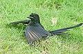 Black Drongo I2 IMG 5683.jpg