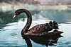 Black Swan bg.jpg
