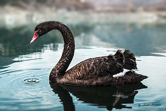 Black swan - Black swan on Vacha reservoir, Bulgaria