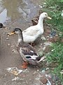 Black and white duck.jpg