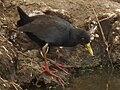 Black crake in Tanzania 3103 cropped Nevit.jpg