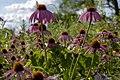 Blacklick Woods - Purple Coneflower 1.jpg