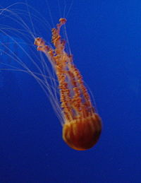 Blackseanettlejellyfish1200ppx.JPG