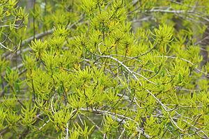 Excoecaria agallocha - Excoecaria agallocha in flower
