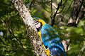 Blue-and-yellow Macaw - Guacamayo azul y amarillo (Ara ararauna) (15105690523).jpg