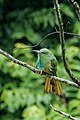 Blue-bearded Bee-eater (मधुमक्षी भक्षका).jpg