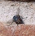 Blue-bottle. Calliphora vicina. - Flickr - gailhampshire.jpg