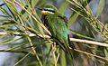 Blue-cheeked bee-eater, Merops persicus, Chobe National Park, Botswana (32364459001).jpg