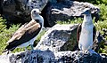 Blue-footed boobies (47939940833).jpg