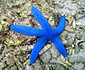 """Blue-sea-star 30 mtrs from """"Dive Solana""""-resort - panoramio.jpg"""