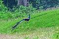Blue peafowl (Pavo cristatus) 15.jpg
