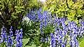 Bluebell Garden MG 9156 (33971302013).jpg