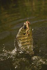 Ryba chytená na návnadu na háčiku