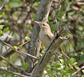 Blyth's Reed Warbler (Acrocephalus dumetorum) in Hyderabad, AP W IMG 1408.jpg