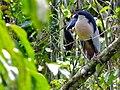 Boat-billed Heron (Cochlearius cochlearius) (8297753636).jpg