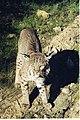Bobcat (12211261974).jpg