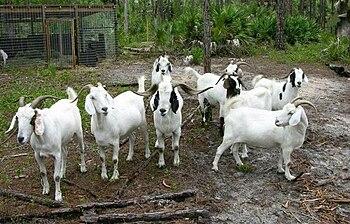 English: Boer goats and pen
