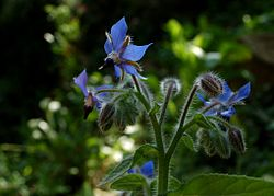 Borago officinalis, blue blossom.jpg