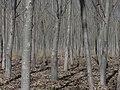 Bosque de álamos - panoramio.jpg