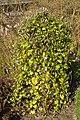 Botanischer Garten Berlin-Dahlem 10-2014 photo23 Ipomoea tricolor.jpg