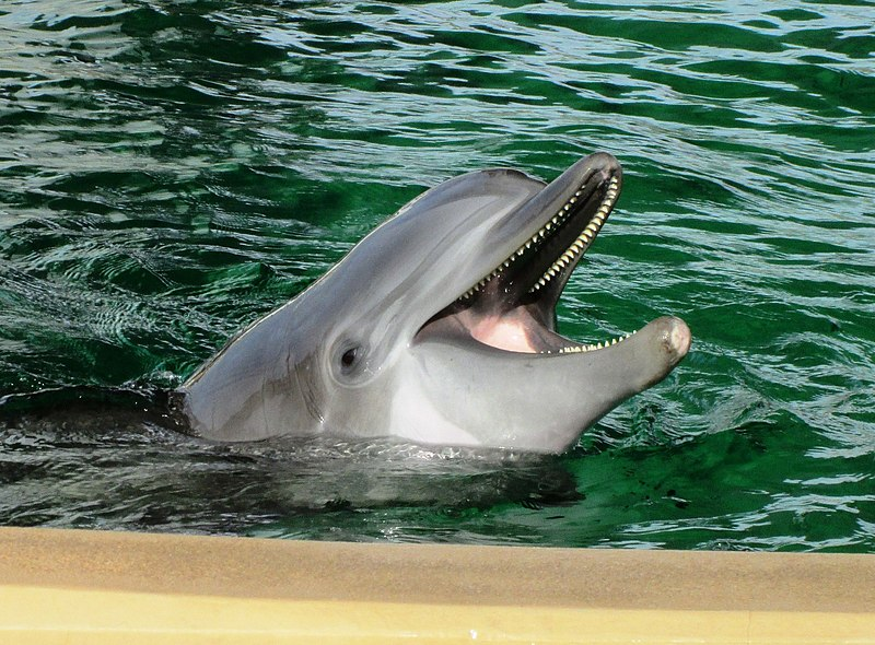 describing the bottlenose dolphins Bottlenose dolphins leap from the water in the caribbean sea photograph by stuart westmorland, corbis researchers have finally figured out how dolphins swim as fast as they do.