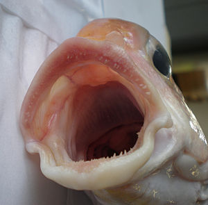 Tilefish - Image: Branchiostegus wardi JNC2997 Mouth