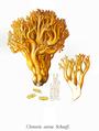Bresadola-Clavaria aurea Schaeff.png