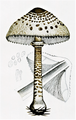 Bresadola - Lepiota procera.png