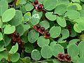 Breynia retusa (Dennst.) Alston (869150787).jpg