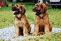 Briard R 01 Puppy.jpg