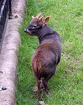 A small deer standing in grass in an open grassed pen in a zoo