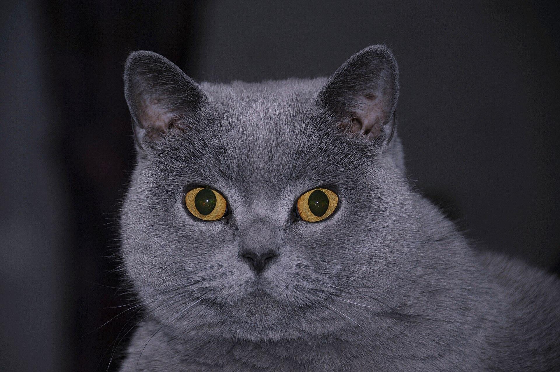 Kot Brytyjski Krótkowłosy Emusklep