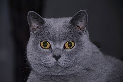 British Shorthair.jpg