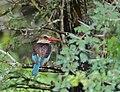 Brown-hooded Kingfisher (Halcyon albiventris) (12714571205).jpg