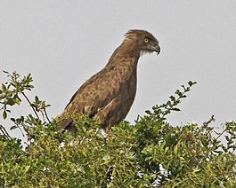 Brown Snake-Eagle (Circaetus cinereus).jpg