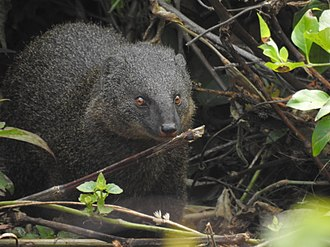 Indian brown mongoose - Adult from the southern Western Ghats