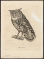Bubo maculosus - 1700-1880 - Print - Iconographia Zoologica - Special Collections University of Amsterdam - UBA01 IZ18400101.tif